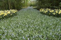 Weg met blauwe hyacinten stock fotografie