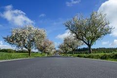 Weg met steeg van kersenbomen in bloei royalty-vrije stock afbeelding
