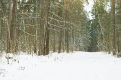 Weg onder bomen met sneeuw in het bos worden behandeld dat Stock Foto