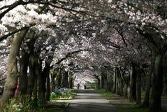 Weg onder Kersenbloesems of Sakura in volledige bloei in de nacht Stock Afbeelding