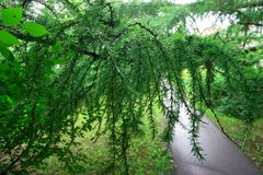Weg in park Europese Lariks Larix decidua met regendruppels royalty-vrije stock fotografie