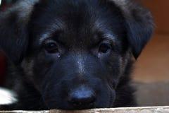 Weg, Schäferhund, letzter Blick vor Trennung stockbilder