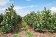 Weg tussen de lage appelbomen Royalty-vrije Stock Fotografie