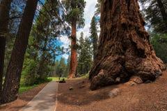 Weg unter den riesigen Rothölzern im Mammutbaum-Nationalpark, Kalifornien, USA lizenzfreies stockfoto