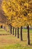 Weg van lariksen in de herfst Stock Foto's