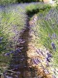 Weg van Lavendel Stock Afbeeldingen