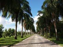 Weg van palmen Stock Afbeelding