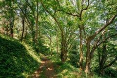 Weg, Weg, Weise für das Licht, das in Sommer laubwechselnder Forest Between geht Lizenzfreies Stockfoto