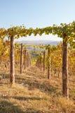 Weg in wijngaard in de herfst met gele bladeren in een zonnige dag Royalty-vrije Stock Afbeelding