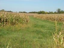 Weg zwischen Maisfeldern lizenzfreies stockfoto
