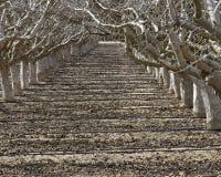 Weg zwischen Reihen von schlafenden Obstbäumen Stockfotos