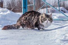 Wege einer Landkatze in der Natur auf dem Schnee an einem sonnigen Tag Lizenzfreie Stockbilder