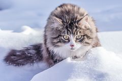 Wege einer Landkatze in der Natur auf dem Schnee an einem sonnigen Tag Stockfotografie