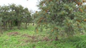 Wegedoornboom in botanisch park stock videobeelden