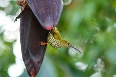 Weggeschoten Spiderhunter-vogel Royalty-vrije Stock Fotografie