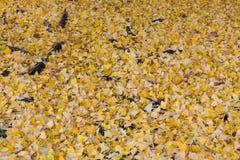 Weggrond met gele ginkobladeren wordt behandeld in de herfst die Stock Afbeeldingen