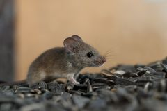 Wegsluipen van de close-up de jonge wilde muis op stapel van zonnebloemzaden in pakhuis royalty-vrije stock foto
