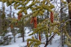 Wegvloeiende nette de boomkegels van waterdruppeltjes tijdens de lentedooi Royalty-vrije Stock Afbeelding