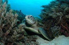 Wehmütige Schildkröte stockfoto
