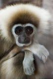 Weiß-übergebener Gibbon Stockfoto