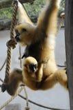 Weiß-übergebener Gibbon Lizenzfreie Stockfotografie