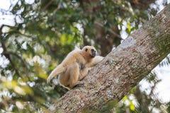 Weiß-übergebener Gibbon Lizenzfreies Stockbild