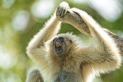 Weiß-Übergebener Gibbon Stockfotografie