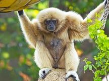Weiß-Übergebener Gibbon-Affe Lizenzfreie Stockfotos