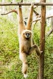 Weiß-übergebener Gibbon in chiangmai Zoo chiangmai Thailand Stockfoto