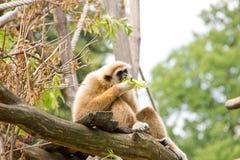 Weiß-übergebener Gibbon, der Blätter isst Lizenzfreie Stockfotos
