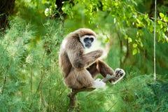 Weiß übergibt den entspannenden Gibbon Lizenzfreie Stockbilder