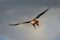 Weiß angebundene Adlerfliege im Himmel Stockfotos
