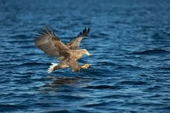 Weiß-angebundene Adlerjagd Stockfotografie