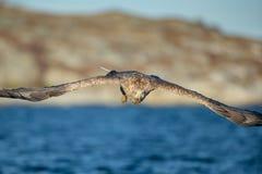 Weiß-angebundene Adlerjagd Stockfotos