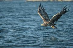 Weiß-angebundene Adlerjagd Stockbild