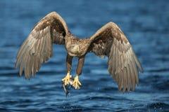 Weiß-angebundene Adlerjagd Lizenzfreies Stockbild
