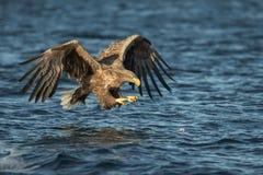 Weiß-angebundene Adlerjagd Stockfoto