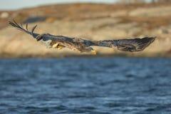 Weiß-angebundene Adlerjagd Lizenzfreies Stockfoto