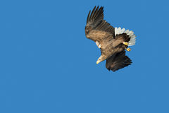 Weiß-angebundene Adlerjagd Lizenzfreie Stockfotos
