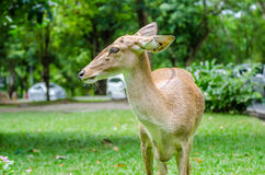 Weiß-angebundene Rotwild auf einem grasartigen Feldhintergrund Lizenzfreie Stockfotos