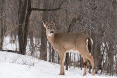 Weiß angebundene Rotwild im Winter Stockfotografie