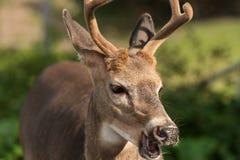 Weiß-angebundene Rotwild mit Mund öffnen sich Lizenzfreie Stockfotos