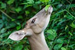 Weiß-angebundene Rotwild nah herauf Profil Stockfotos