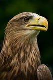 Weiß-angebundener Adler Lizenzfreie Stockfotos