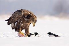 Weiß angebundener Adler Lizenzfreies Stockbild