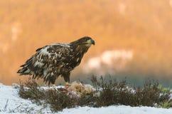 Weiß angebundener Adler Stockfotos