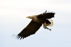 Weiß-angebundener Adler Lizenzfreie Stockbilder