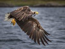 Weiß-angebundener Adler stockbilder