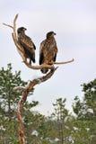 Weiß-angebundener Adler auf Baum Lizenzfreie Stockbilder