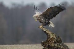 Weiß angebundener Adler auf einem alten Stumpf Stockfoto